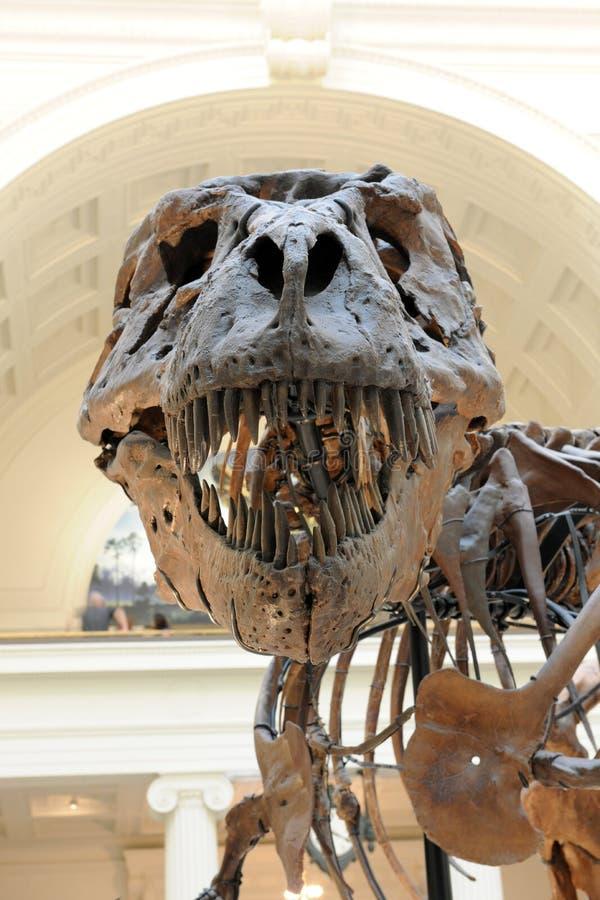 Tyrannosaurus Rex Sue at Field Museum in Chicago stock images
