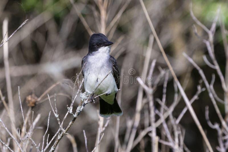 Tyrannustyrannus för östlig kingbird som sitter på en filial av en buske arkivbilder