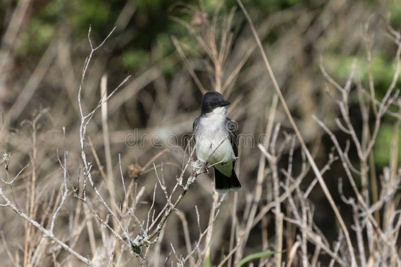Tyrannustyrannus för östlig kingbird som sitter på en filial av en buske royaltyfria bilder