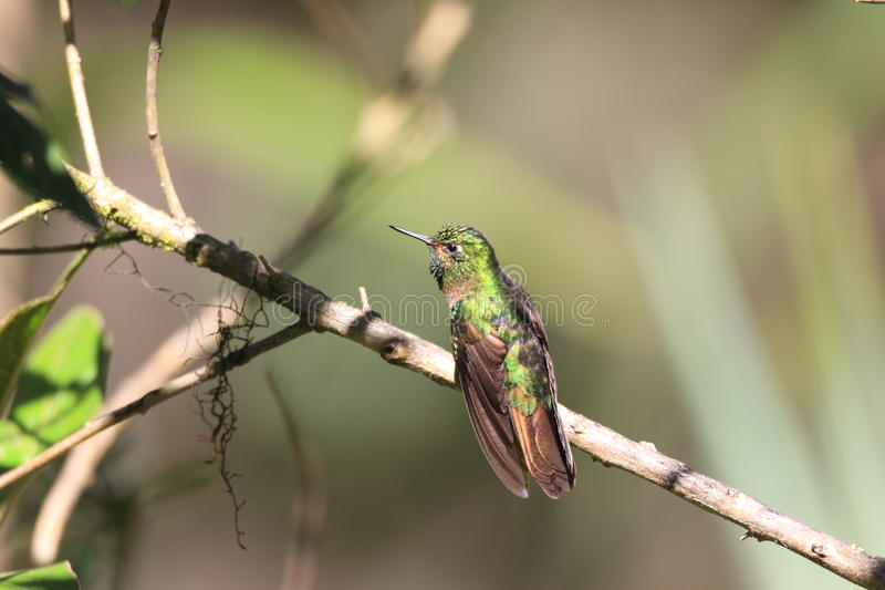 Download Tyrian Metaltail stock photo. Image of green, colourful - 39507408