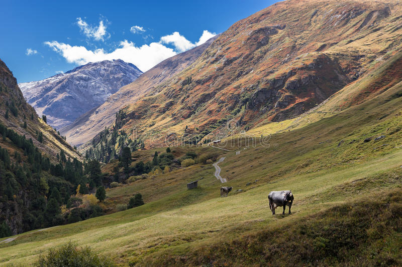 Tyrol Grey or Tyrolean Grey alpine cattle, milk cows on pasture. Colored hills, big mountains. Autumn in Vent Alps, Austria royalty free stock photography