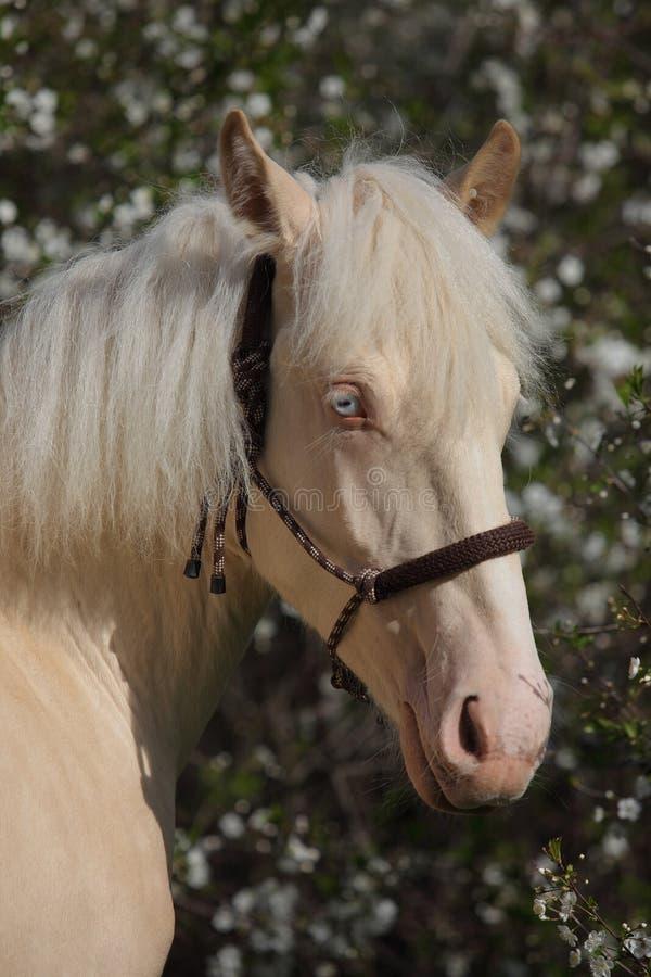 Tyrolean Haflinger hästföl med det blåa ögat royaltyfria foton