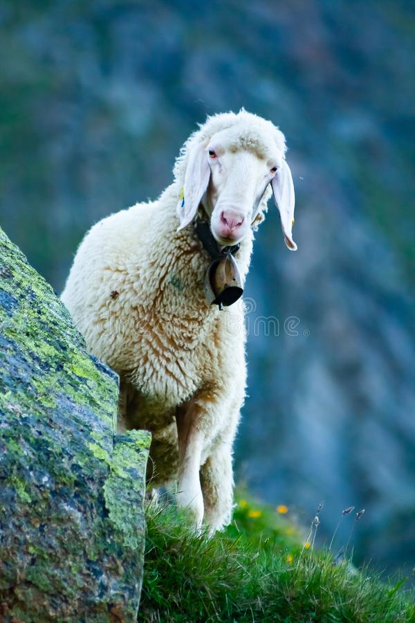Tyrolean mountain sheep looking at the viewer, Stubai Valley, Tyrol, Austria stock photo