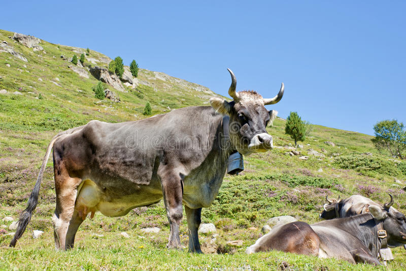 Tyrolese grey cow in an alpine pasture royalty free stock images