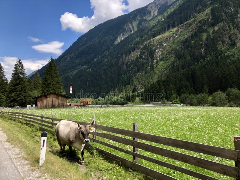 Tyrolese grey cow, bull with horn walking outside fence along green meadow, Tyrol, Austria stock photos