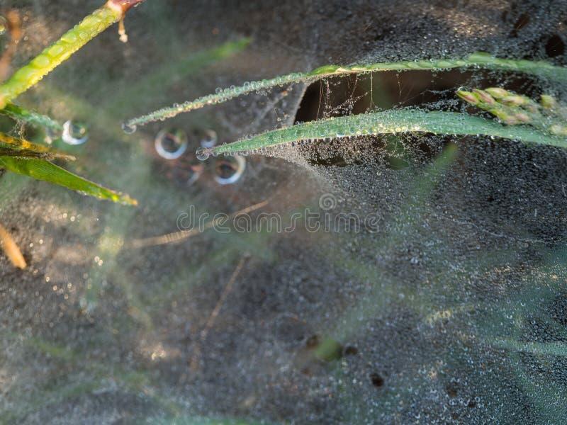 Tysiące rosa krople na pająk sieci obrazy royalty free