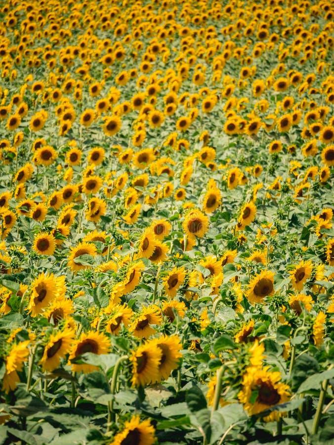 Tysiące słoneczniki zdjęcia royalty free