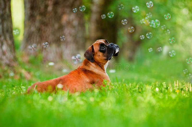 Tysk boxarehundstående med såpbubblor royaltyfri bild