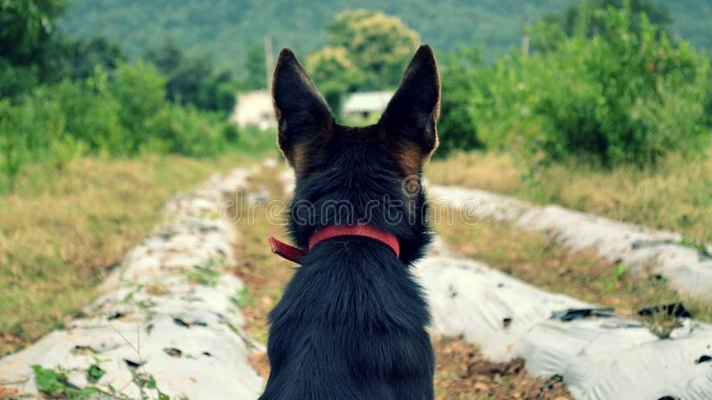 Tysk herde Dog för lantbrukarhem royaltyfri bild