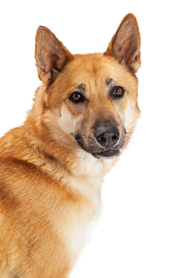 Tysk herde Dog Over White för stående arkivbild