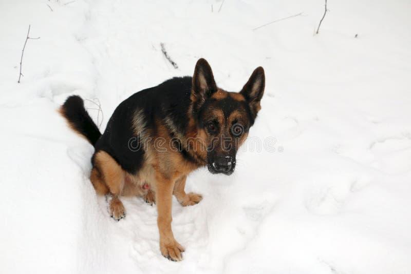 Download Tysk herde Dog på snö arkivfoto. Bild av skog, tafsar - 76700104
