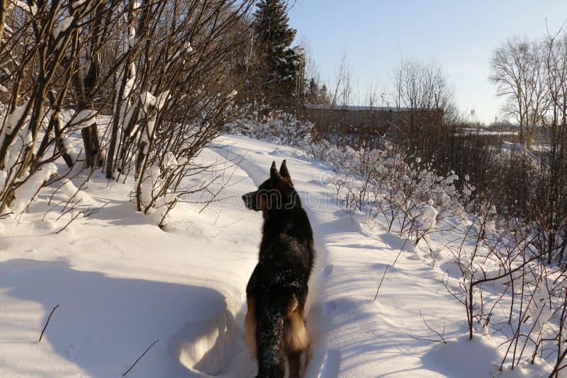 Tysk herde Dog på snö royaltyfri foto