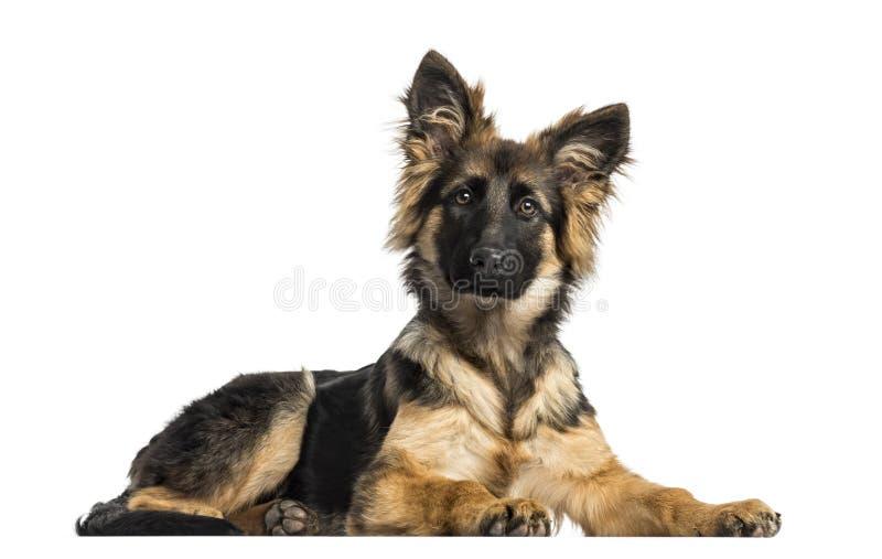 Tysk herde Dog som ligger, 4 gamla månader för valp arkivfoton