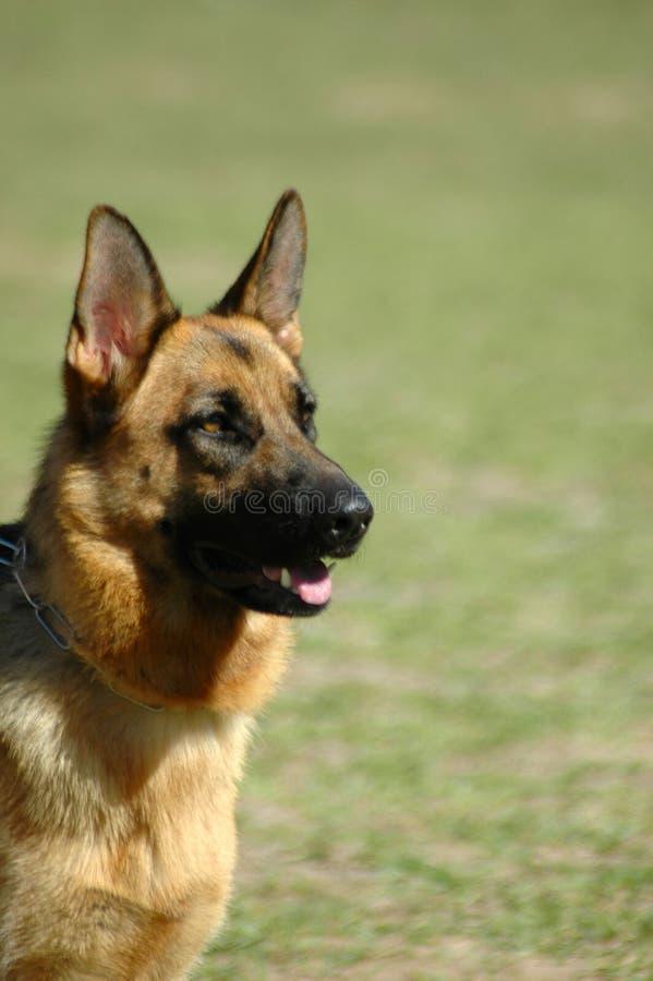 tysk herde för elsassisk hund arkivbilder
