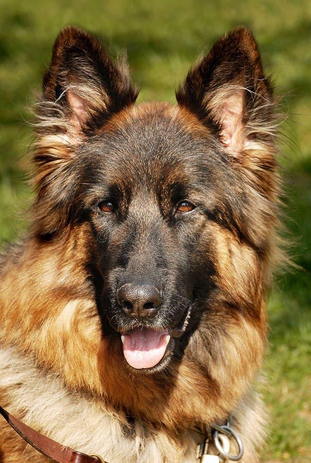 tysk herde för hund arkivbilder