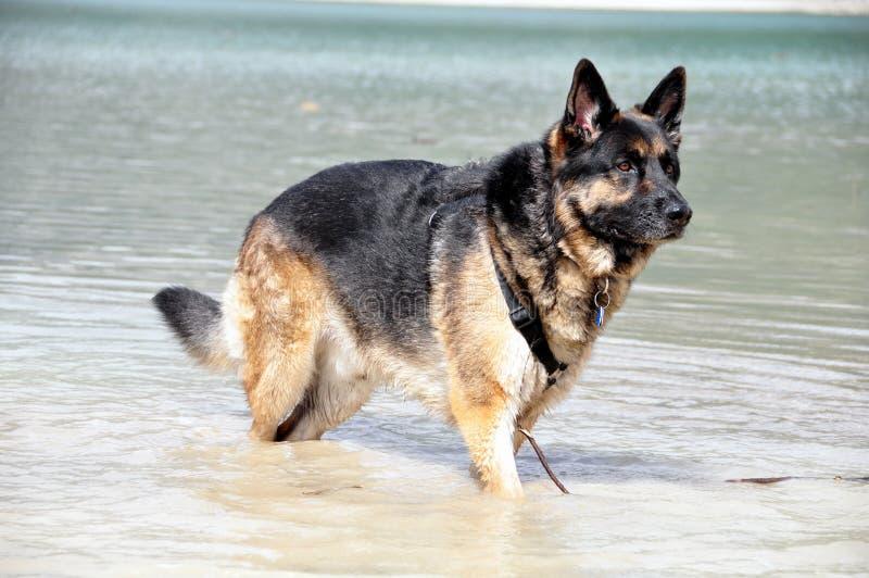 tysk herde för hund royaltyfria foton