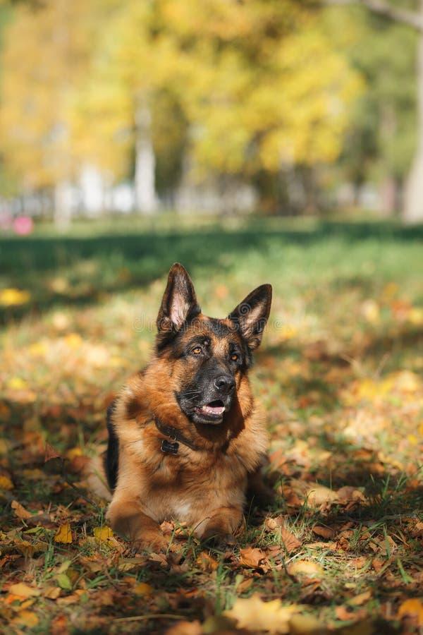 Tysk herde för hundavel arkivfoto