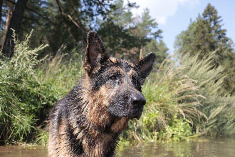 Tysk herde för våt hund i ett vatten arkivfoton