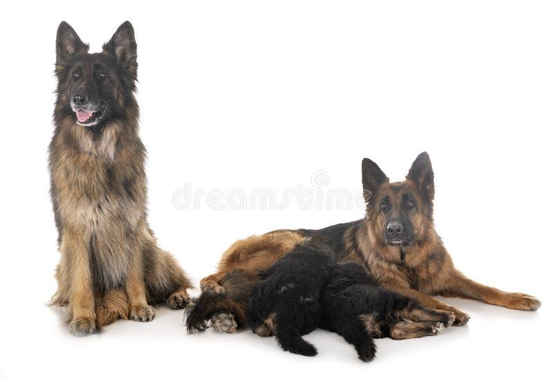 Tysk herde f?r familj royaltyfria bilder