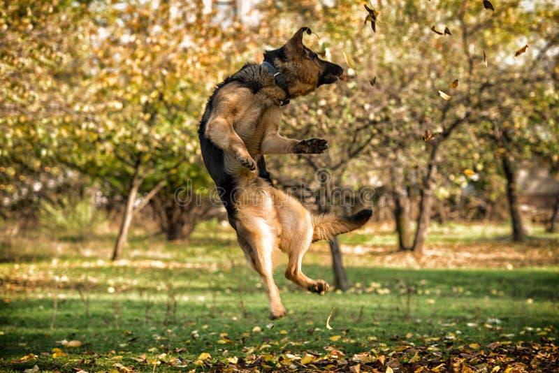 Tysk herde Jumping för hund royaltyfri bild
