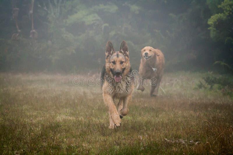 Tysk herde och golden retriever som spelar i dimman royaltyfria bilder