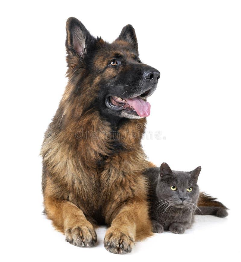 Tysk herde och katt arkivbild