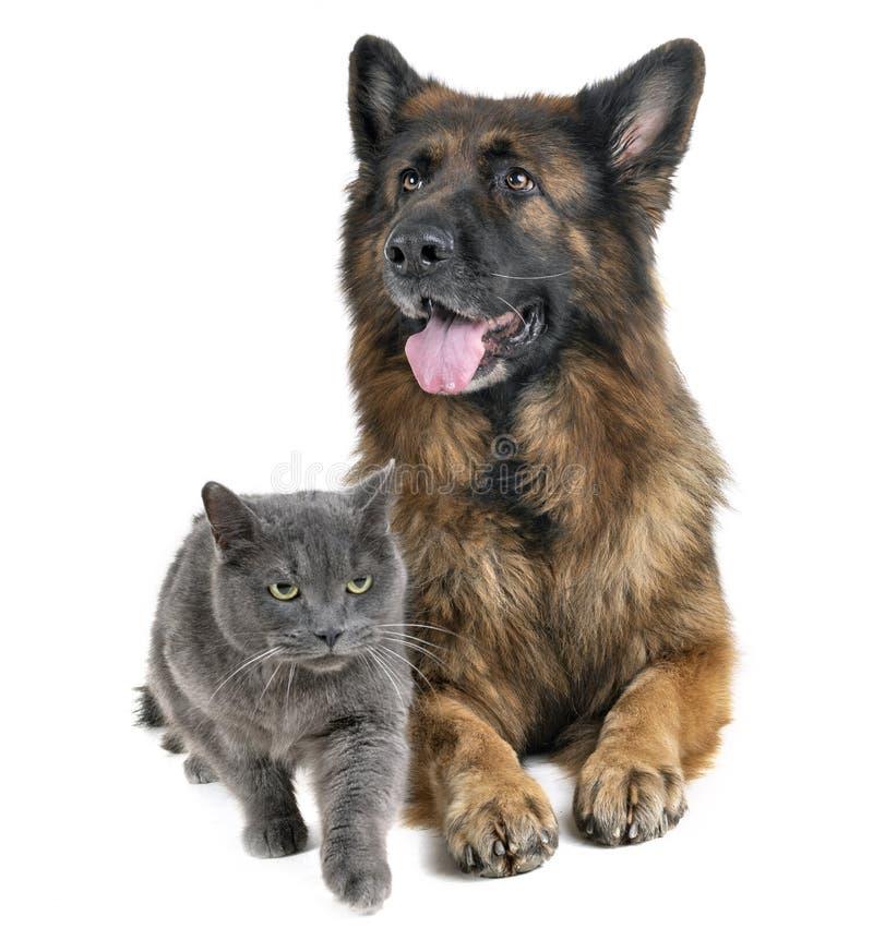 Tysk herde och katt arkivfoton