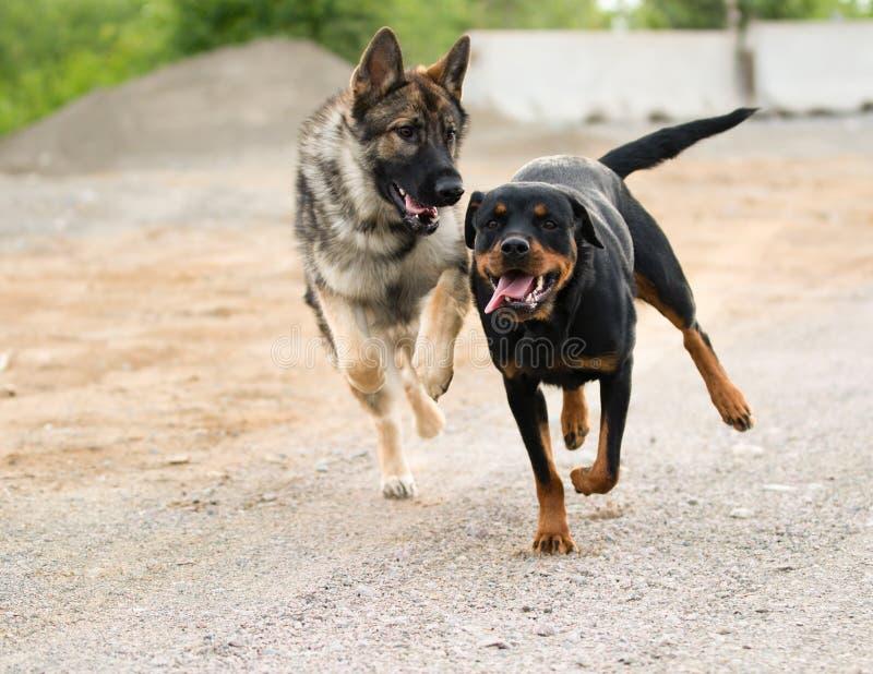 Tysk herde och Rottweiler som kör och spelar royaltyfri fotografi