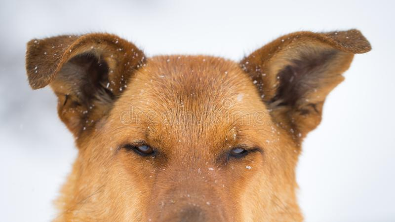 Tysk herde på en snöig dag arkivbild