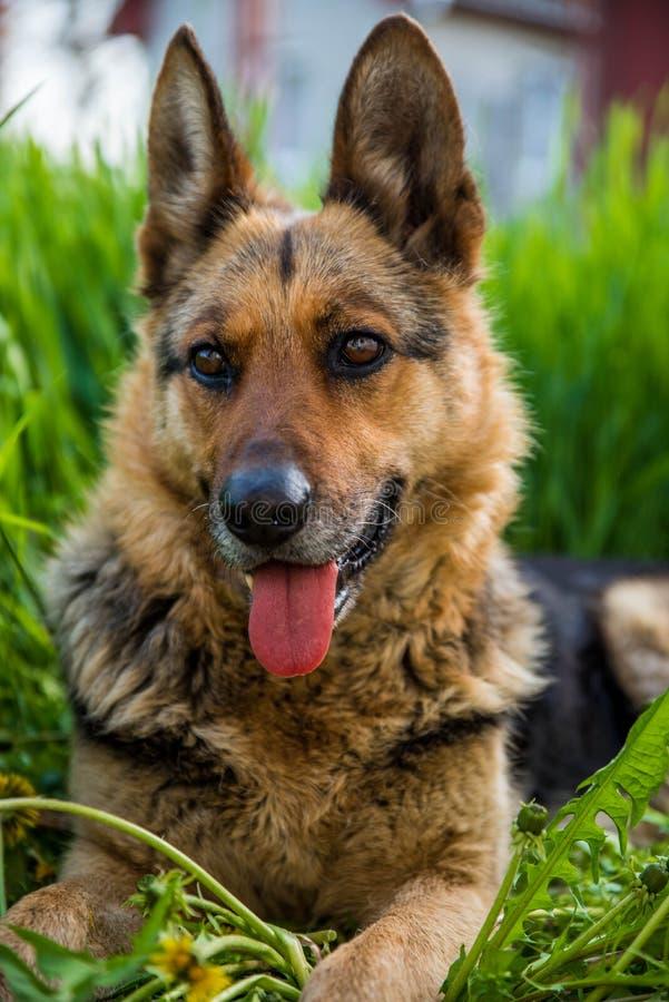 Tysk herde på gräs arkivfoto