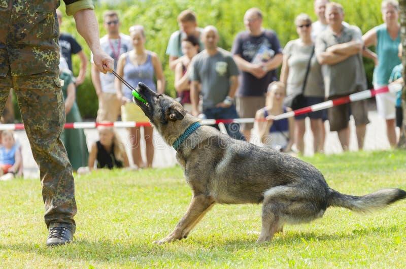 Tysk hund för den militära polisen arkivbild