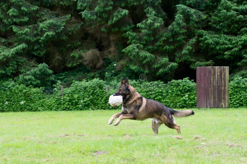 tysk leka herde för bollhund royaltyfria foton