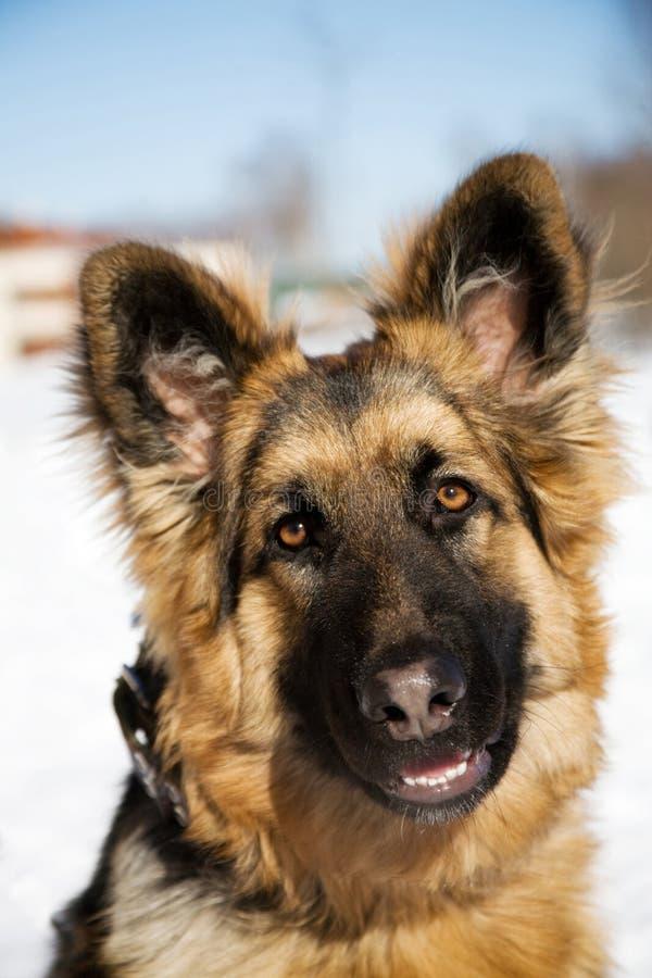 tysk pappy herde för hund royaltyfri fotografi