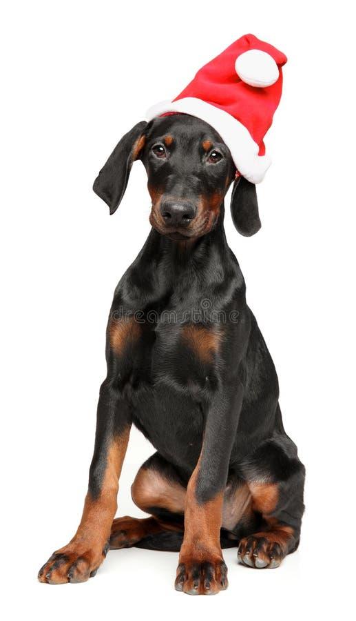 Tysk Pinscher i röd hatt för jultomten på vit fotografering för bildbyråer