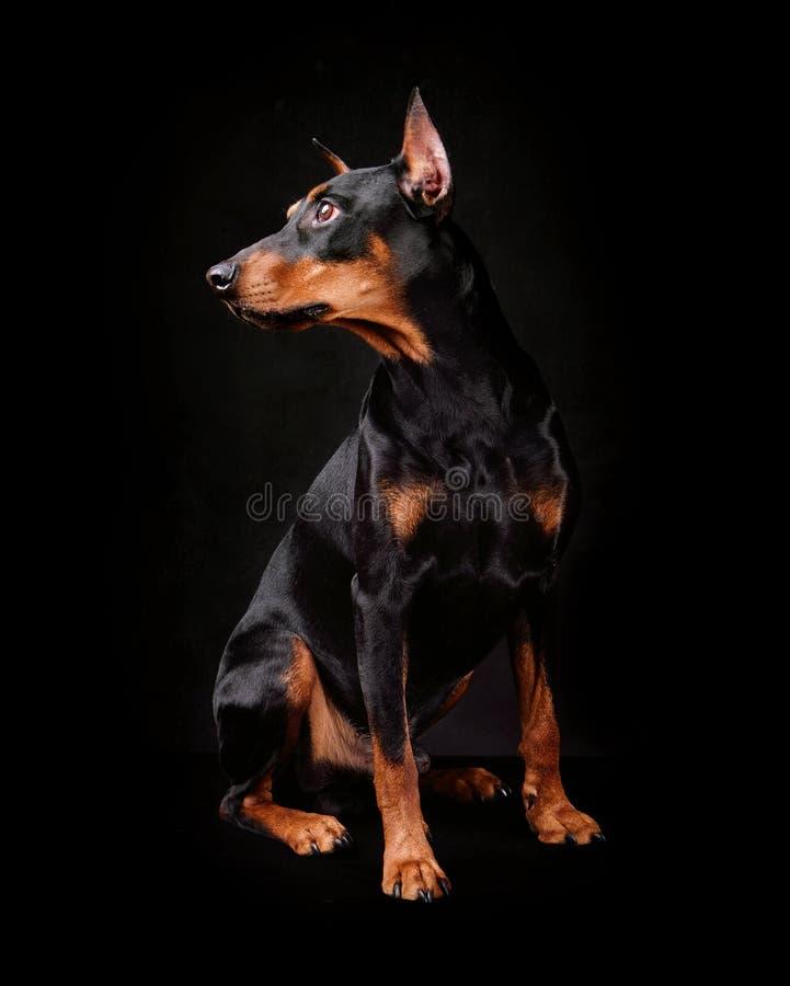 Tysk pinscherhund royaltyfria bilder