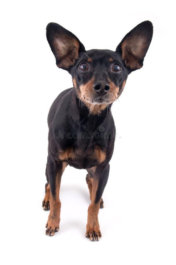Tysk pinscherhundavel arkivfoton