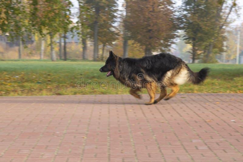 Tysk Shepard hund royaltyfria bilder
