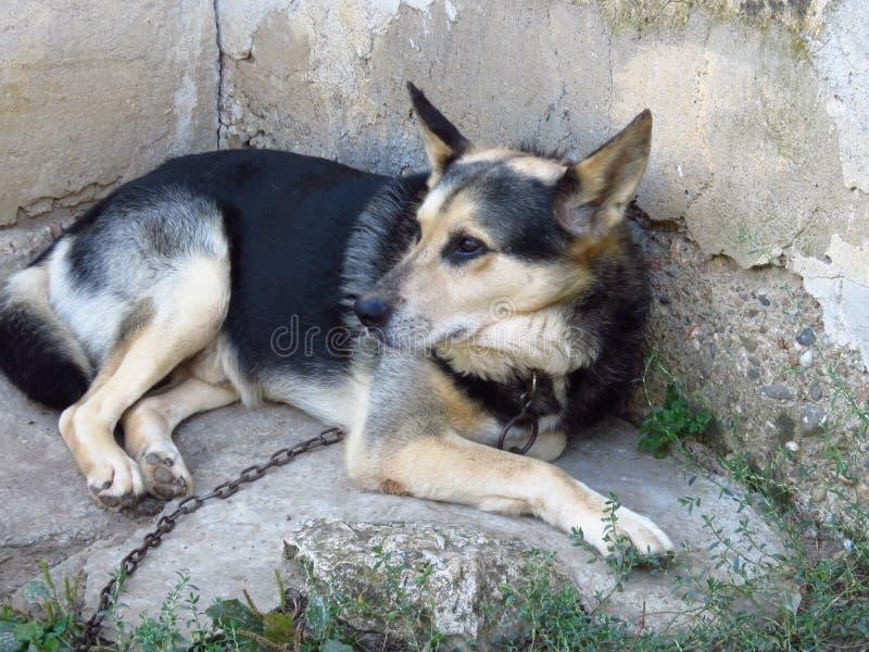 Tysk Shepard på en kedja Dog att ligga på jordningen och att se in i avstånd royaltyfria bilder