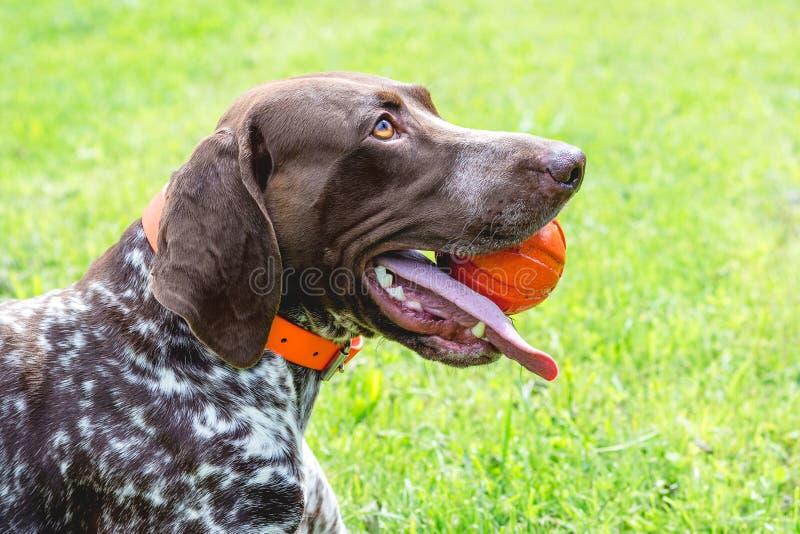 Tysk Shorthaired pekare f?r hund med bollen i t?nderna, n?rbildportrait_ royaltyfria foton