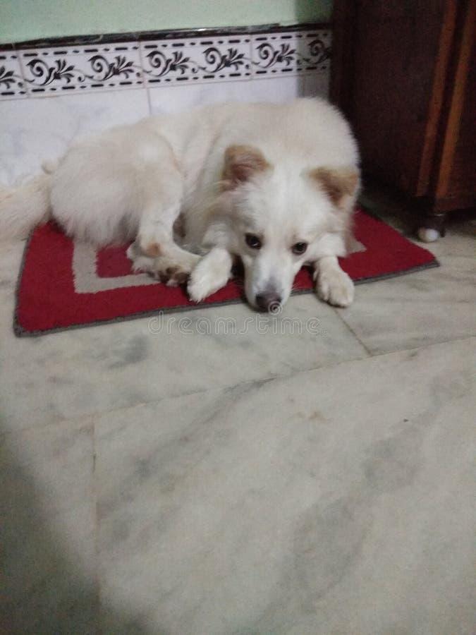 Tysk spitz för husdjurhund royaltyfria foton
