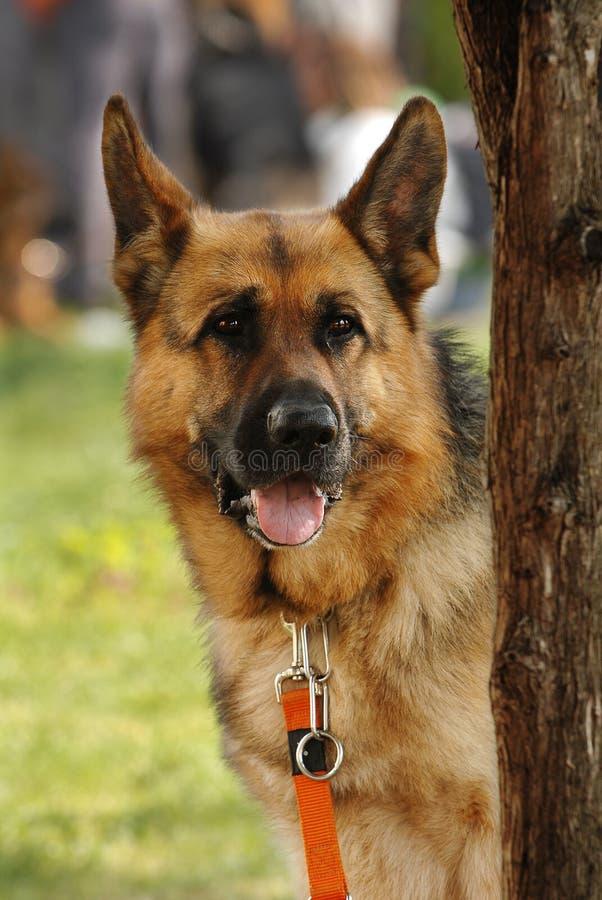 tysk vakthund arkivfoton