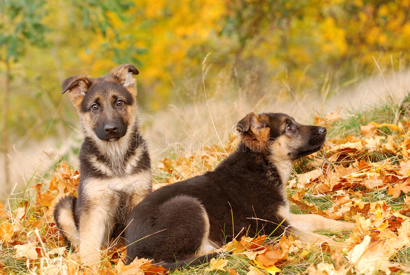 tysk valpherde för hund arkivfoton