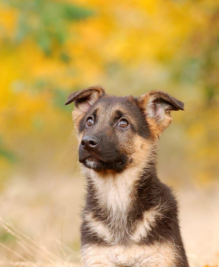 tysk valpherde för hund arkivbild