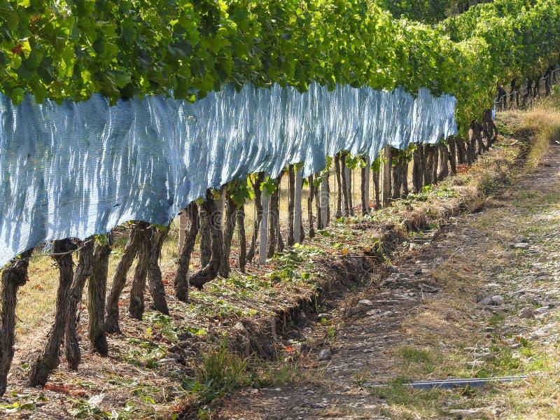 Tysk vingård i sommartid arkivfoton