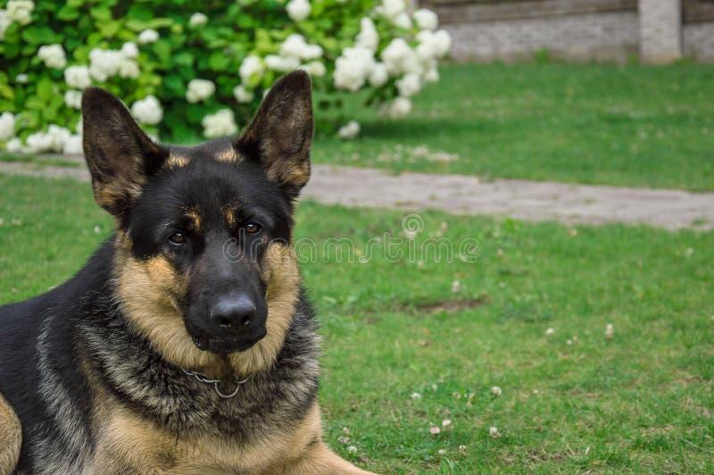 Tysk vuxen herde Hunden spelar på en grön gräsmatta Foto som t?tt tas upp fotografering för bildbyråer