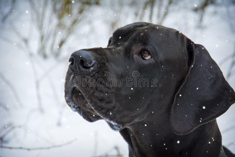 Tysken förföljer I vinter står en stor svart hund i skogen a arkivfoto