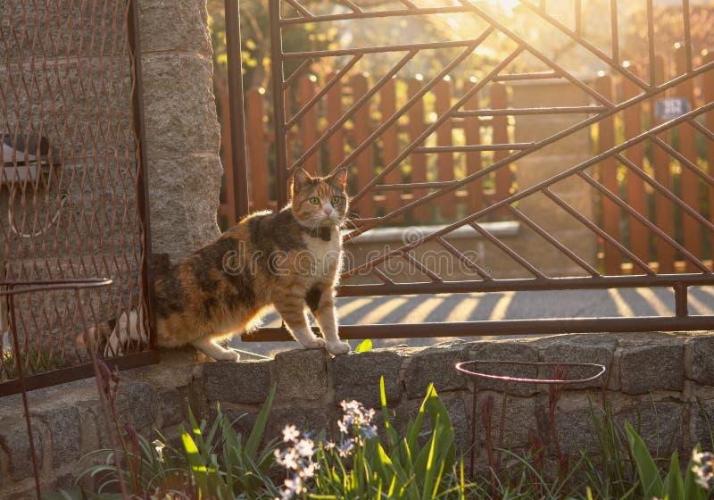 Tyst försöker den krypande inhemska katten får till in i vår trädgård till och med narrocutrymme mellan staketet och stenkolonnen arkivfoto