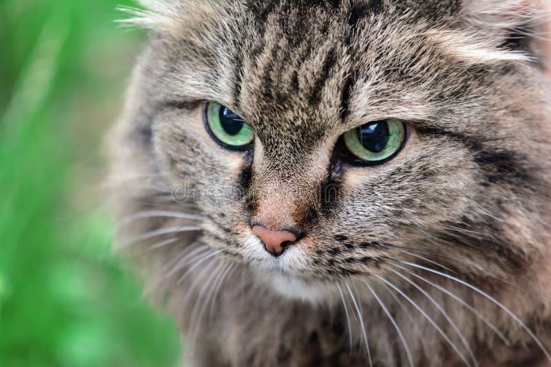 Tysta ned av en grå kattnärbild Ett djur med härliga ögon royaltyfri fotografi