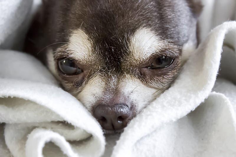 Tysta ned av en liten söt ledsen sömnig sjuk chihuahuahundvit och brunt Selektiv fokus på ögonen royaltyfria bilder