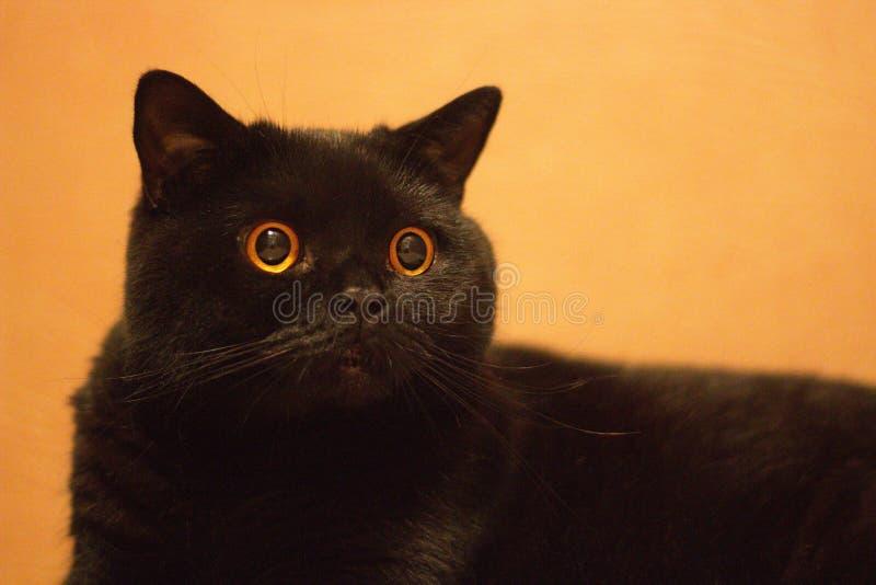 Tysta ned av ett slut för svart katt upp royaltyfria bilder